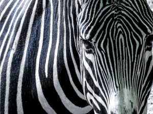 zebra-758699_640